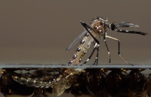MODIFIED_MOSQUITOES_51515417